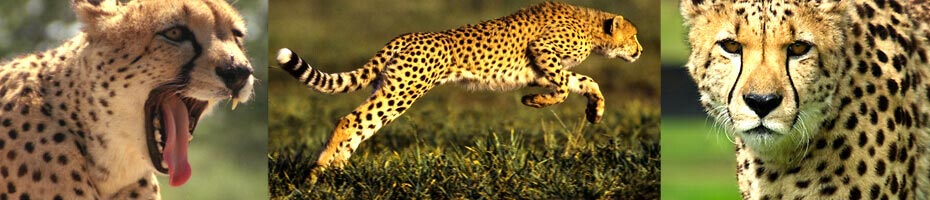 Cheetahs, description and information and adaptations of the