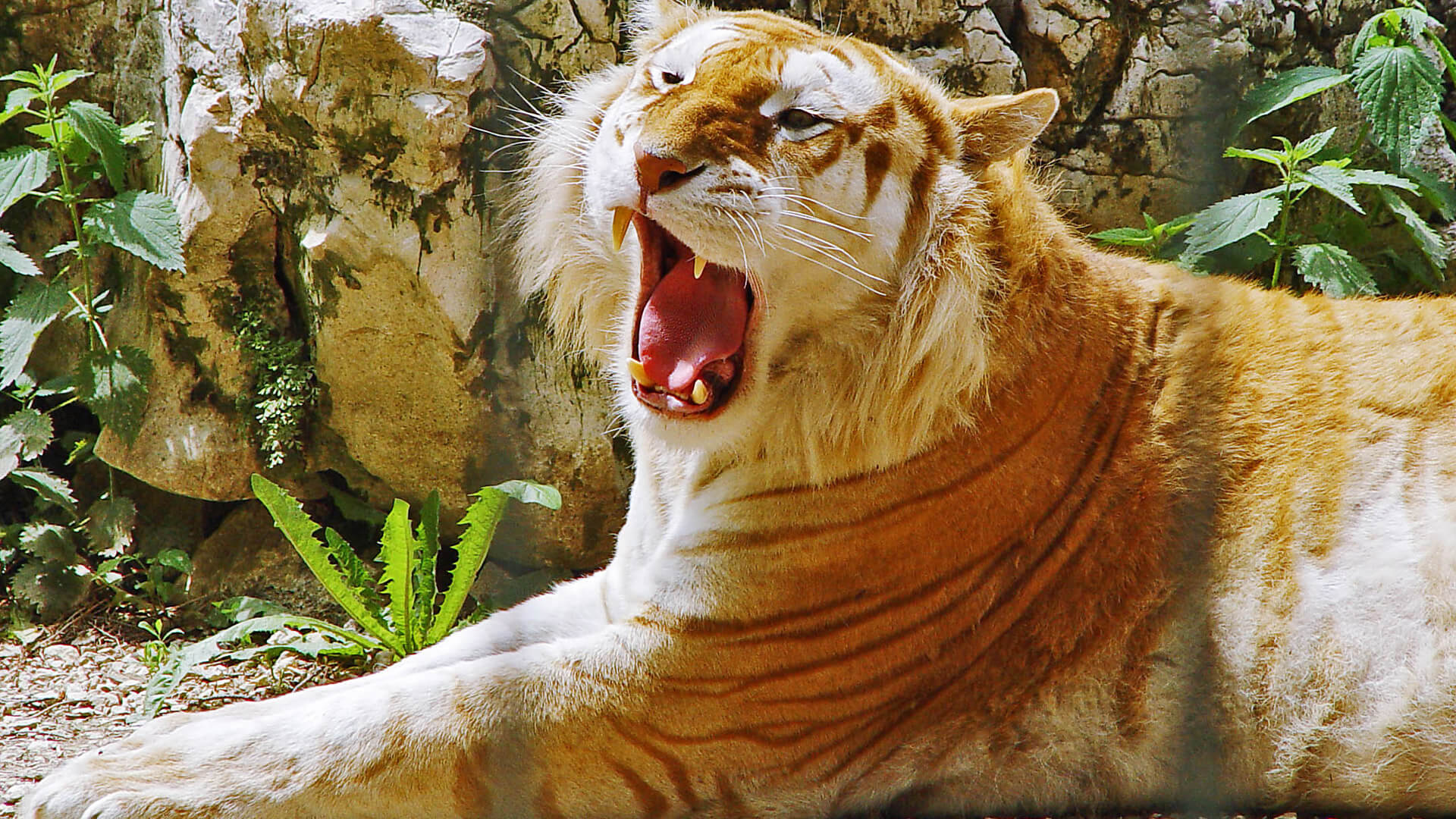 hq/hd/3d): golden tiger wallpapers