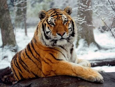 information and facts about tigers and types of tigers and where