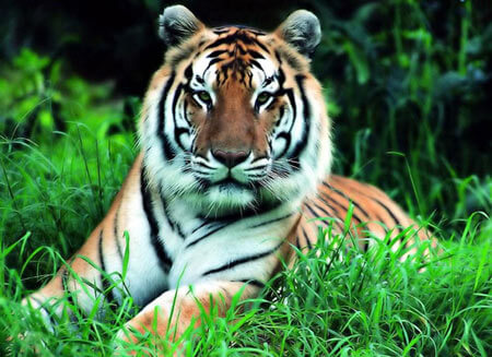 Information and Facts about Tigers and Types of Tigers and