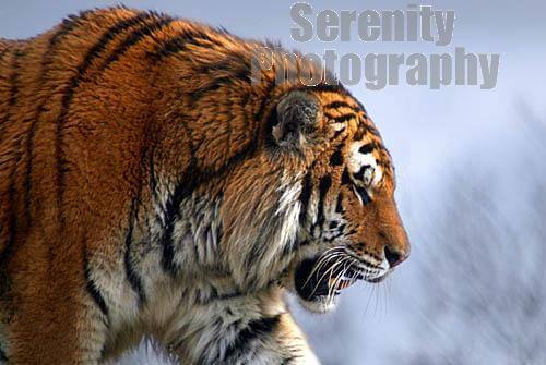 the characteristics of tigers the largest cat species The largest subspecies lives in snowy areas of russia  a tiger's large canine  teeth and powerful jaws are used to grab a prey animal by the neck and suffocate  it  features forest clearings, tiger viewing areas, and a pool for the cool cats.