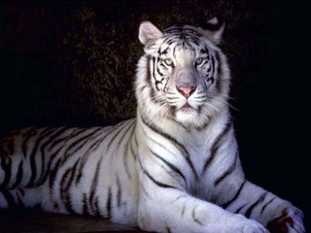 Information and Facts about Tigers and Types of Tigers and Where they come  from.